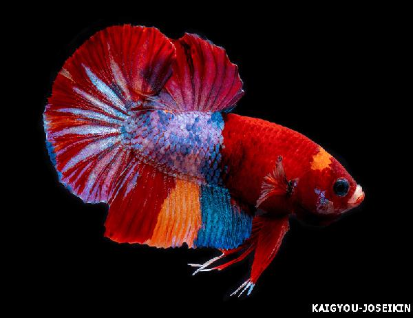 ปลากัด
