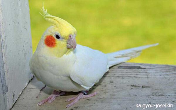 นกค๊อกคาเทล