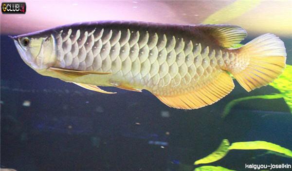 ปลาตะพัด