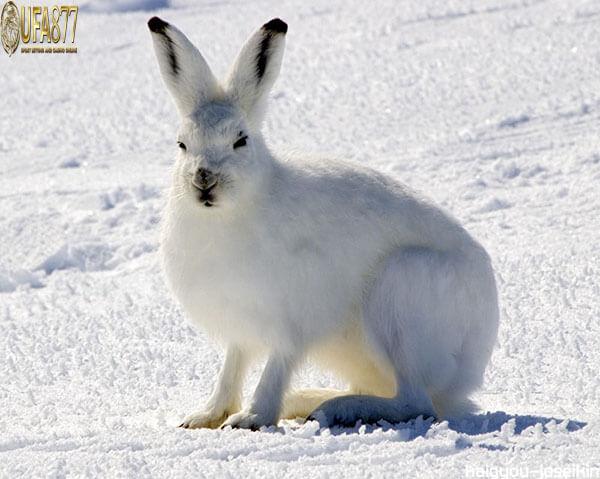 กระต่ายอาร์กติก