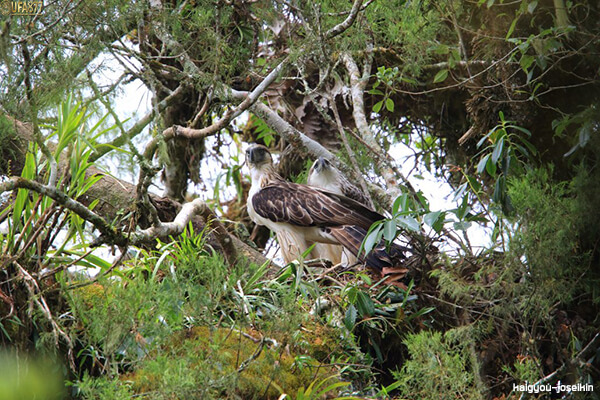 Philippine eagle 3