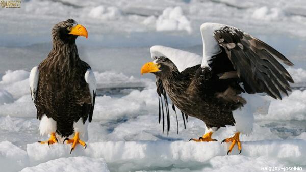 Steller s sea eagle 2