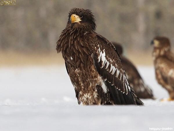 Steller s sea eagle