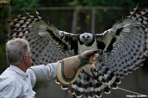 Harpy eagle