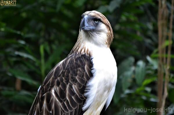 Philippine eagle 2