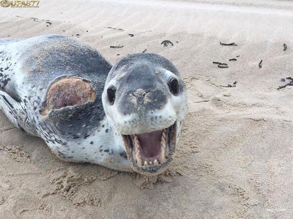 Leopard seal 3