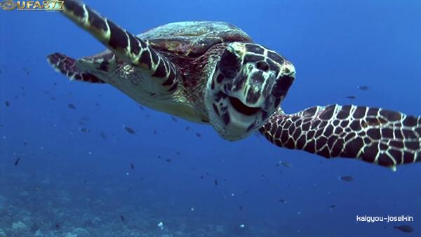 Hawksbill sea turtle 2