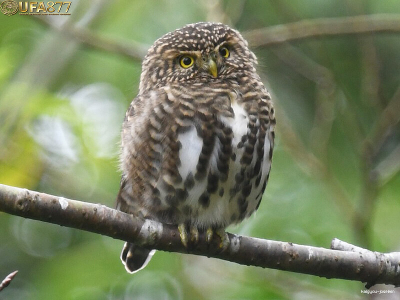 Collared owlet